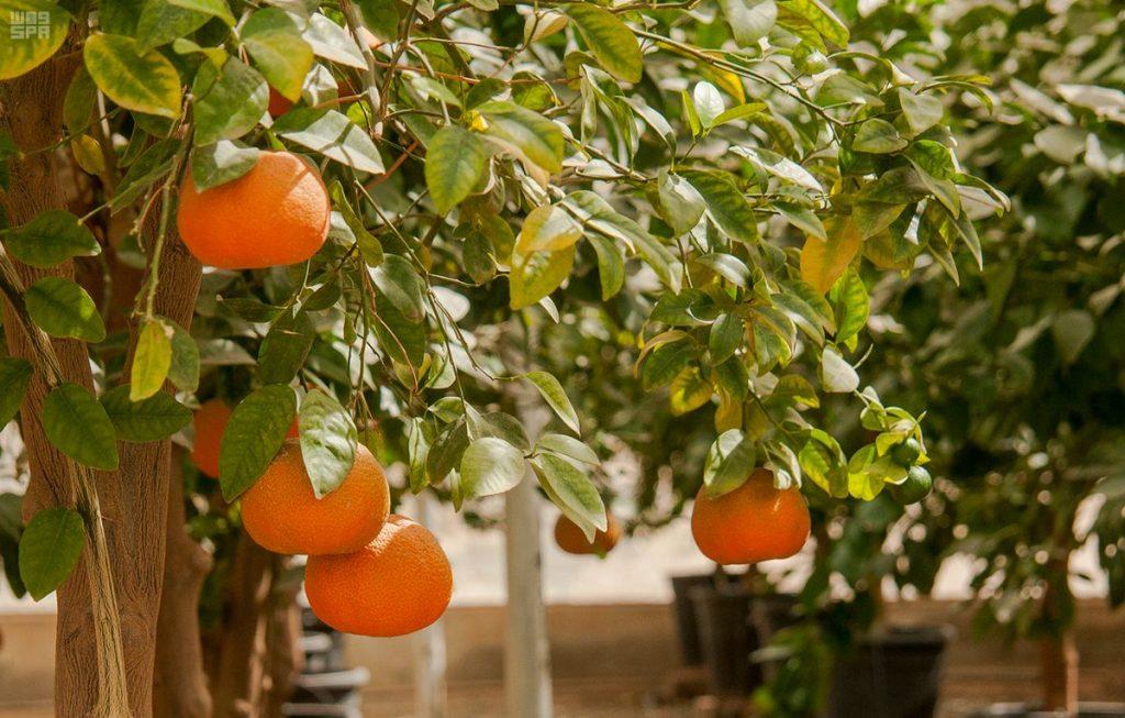 الحمضيات بنجران قيمة غذائية عالية .. ورافد اقتصادي مهم