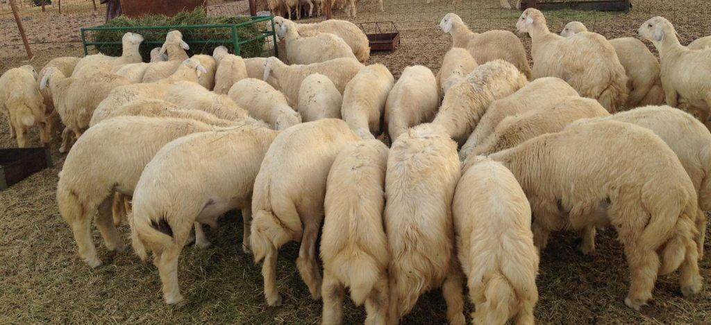 مشروع المملكة للإفادة من الهدي والأضاحي ينهي عمليات نسك الحجاج بذبح (928) ألف رأس من الأغنام و447 من الأبقار لموسم حج هذا العام