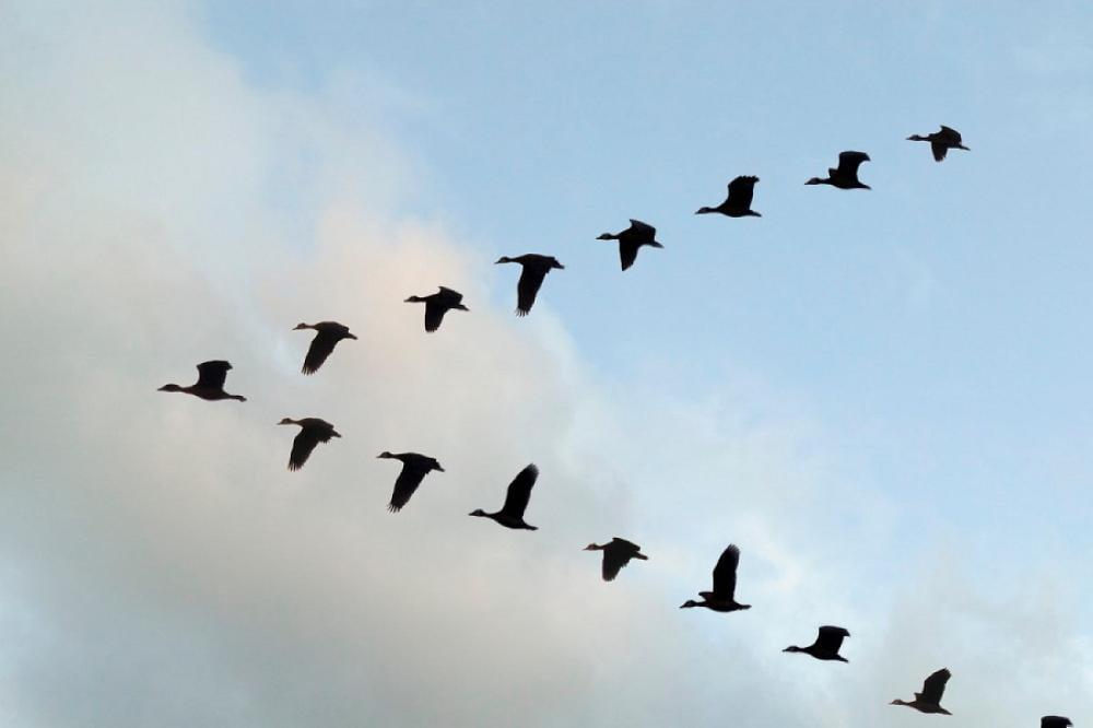 لماذا تحلق الطيور المهاجرة على شكل v؟