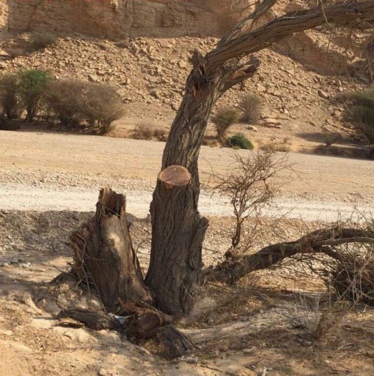 ضبط شخصين قاما بالاعتداء على موظفين في منتزه وثيلان الوطني بالدلم وقطع الأشجار المعمرة