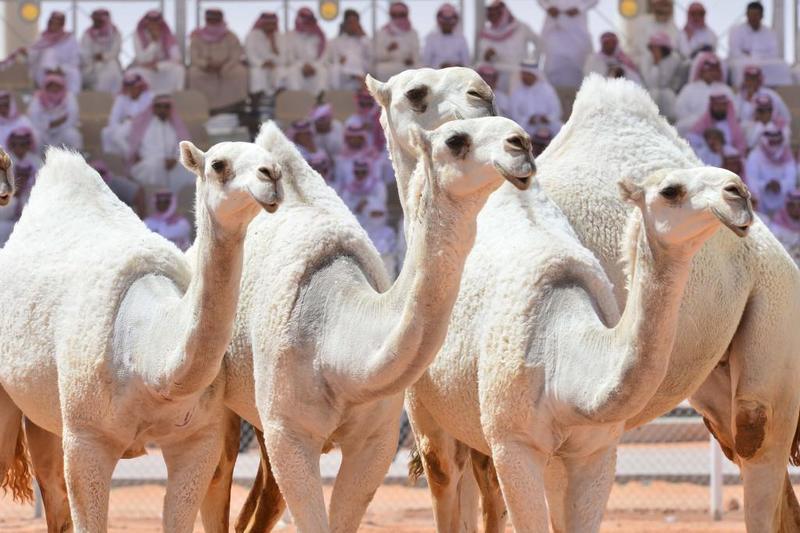"""""""البيئة"""" تكشف استبعاد حوارين من الإبل قبل دخولها مهرجان الملك عبدالعزيز من خلال الفرق البيطرية المشاركة"""