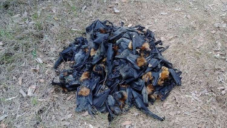 """آلاف الخفافيش """"تحترق"""" في سماء أستراليا"""