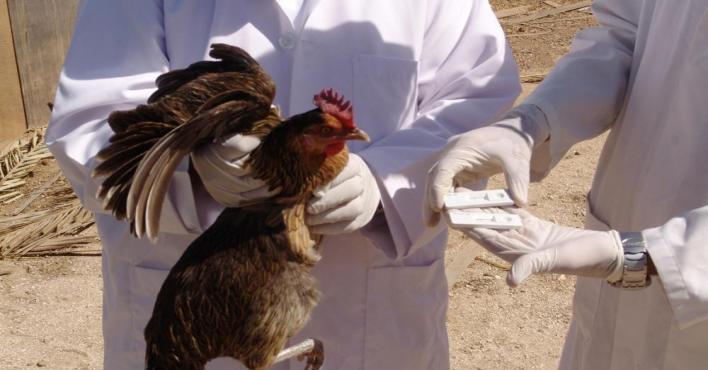 البيئة تسجل 3 إصابات بإنفلونزا الطيور في الرياض والدمام والزلفي