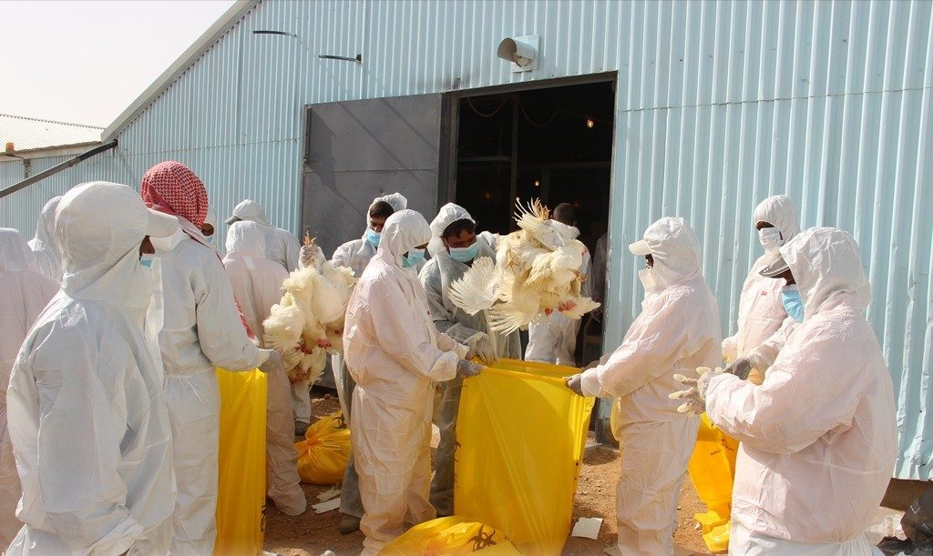 البيئة : تسجيل إصابة جديدة بإنفلونزا الطيور H5N8 في الخرج