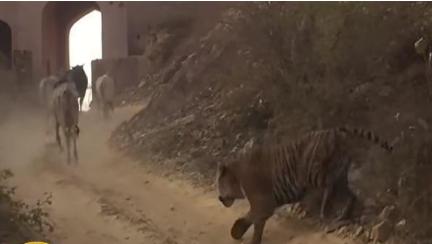 بالفيديو.. نمر هندي يهاجم قطيع أبقار وسط قرية!
