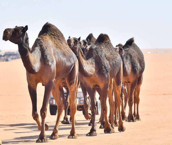 الإبل رمز الأصالة العربية.. تعرف على أنواعها وألوانها ومسمياتها