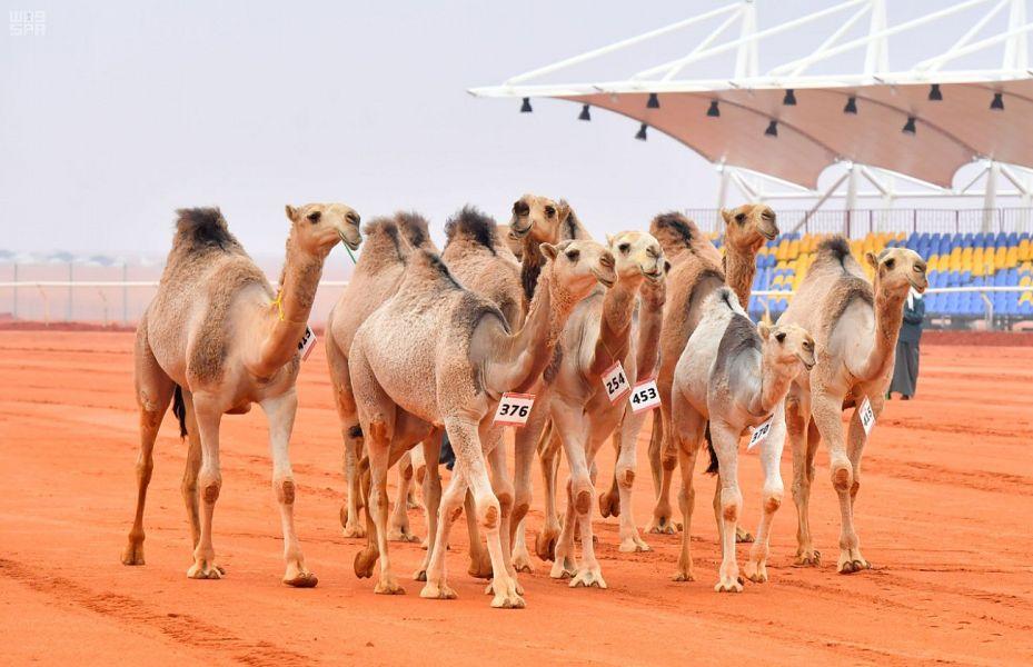 منافسة مثيرة في انطلاق فئة الفرديات بمهرجان الملك عبدالعزيز للإبل