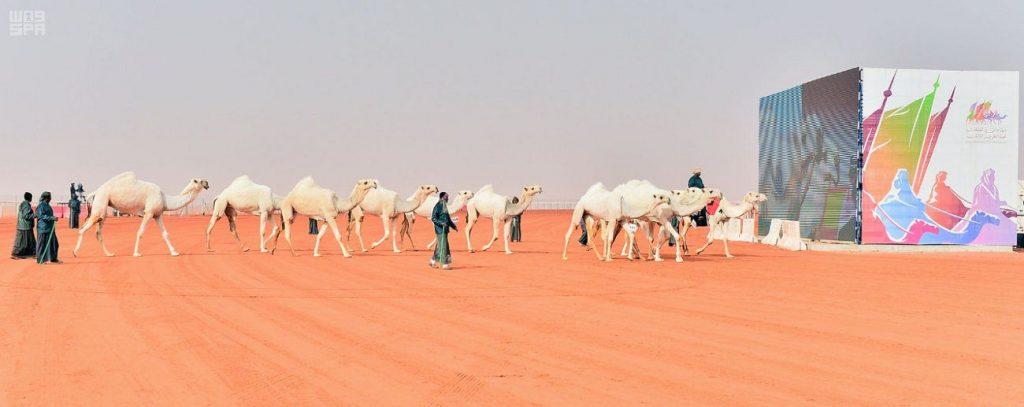 لجان التحكيم في مهرجان الملك عبدالعزيز للإبل تعلن نتائج فرديات الوضح