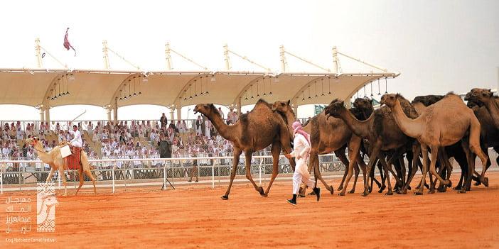 انتهاء عروض الفحل وانتاجه بمهرجان الملك عبدالعزيز للإبل .. والفرديات تبدأ غدا