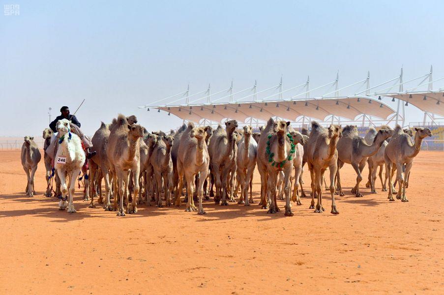 تتويج منقيات ( 50 شعل ) في مهرجان الملك عبدالعزيز للإبل