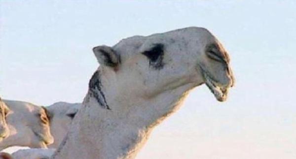 """بعد عروض وصلت 70 مليون ريال لشرائه .. نفوق الفحل الشهير """"الكنق"""" بحائل"""