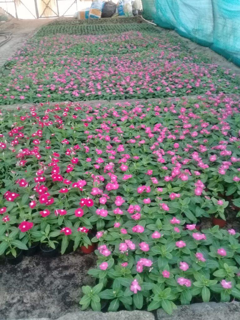 أكثر من 900 ألف زهرة و 35 ألف شجرة متنوعة ينتجها مشتل بلدية رأس تنورة