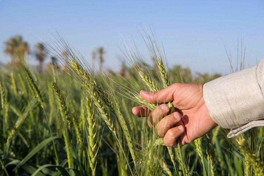 مزارع القمح بنجران .. تأذن بموسم وفير