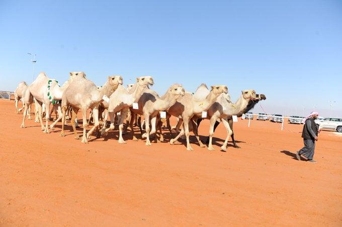 الدوسري والمري يكسبان تحدي نخبتي الشقح والمجاهيم في مهرجان الملك عبدالعزيز للإبل