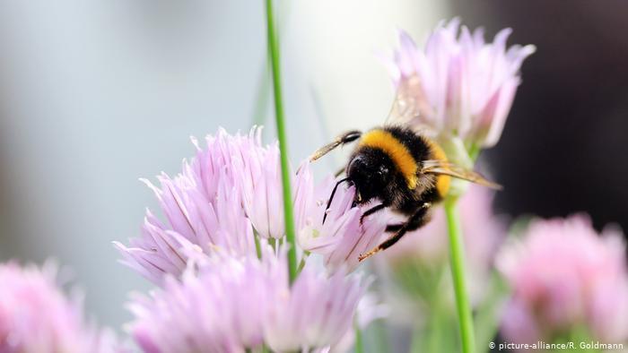 دراسة: النحل الطنان يعرف الأشياء باللمس