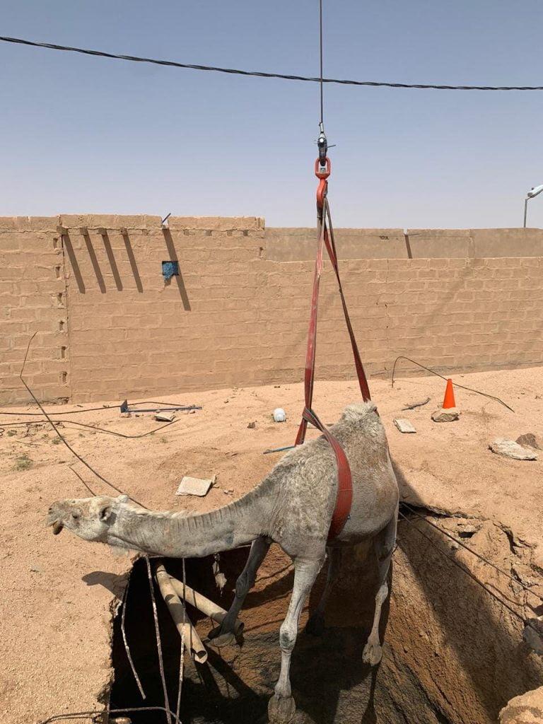 مدني الرس ينقذ ناقة سقطت في خزان صرف صحي بحليسه