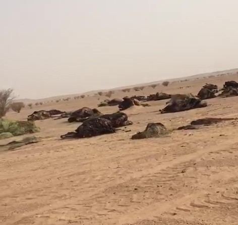 بالفيديو.. مصرع سائق ونفوق أكثر من 15 من الإبل واحتراق 3 شاحنات في حادث مروع بالسليل