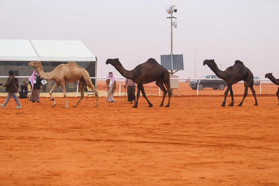 """إعلان نتائج التحكيم المبدئي في """"دق المجاهيم"""" بمهرجان الملك عبدالعزيز للإبل"""
