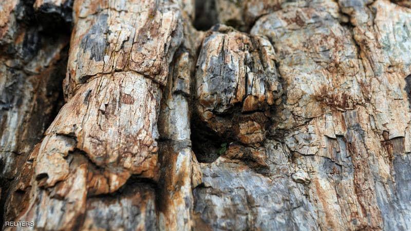 اكتشاف علمي نادر.. شجرة عمرها 20 مليون عام