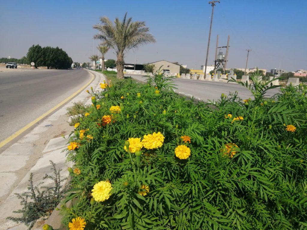 بلدية القطيف تستهدف زراعة أكثر من مليون زهرة في الطرق والميادين خلال موسم الشتاء