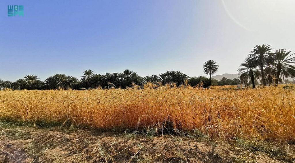 حقول القمح بنجران تؤذن بموسم حصاد وفير
