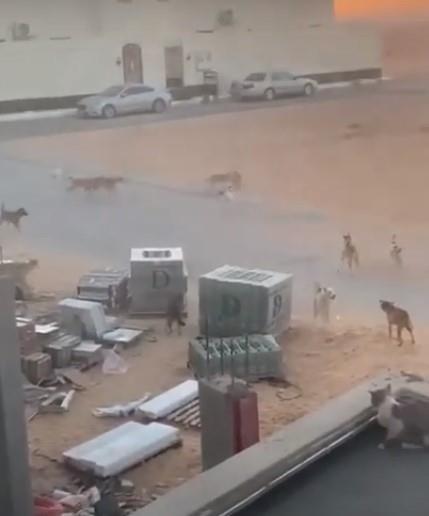 أمانة القصيم تعلق على مقطع فيديو الكلاب الضالة المنتشرة في بريدة