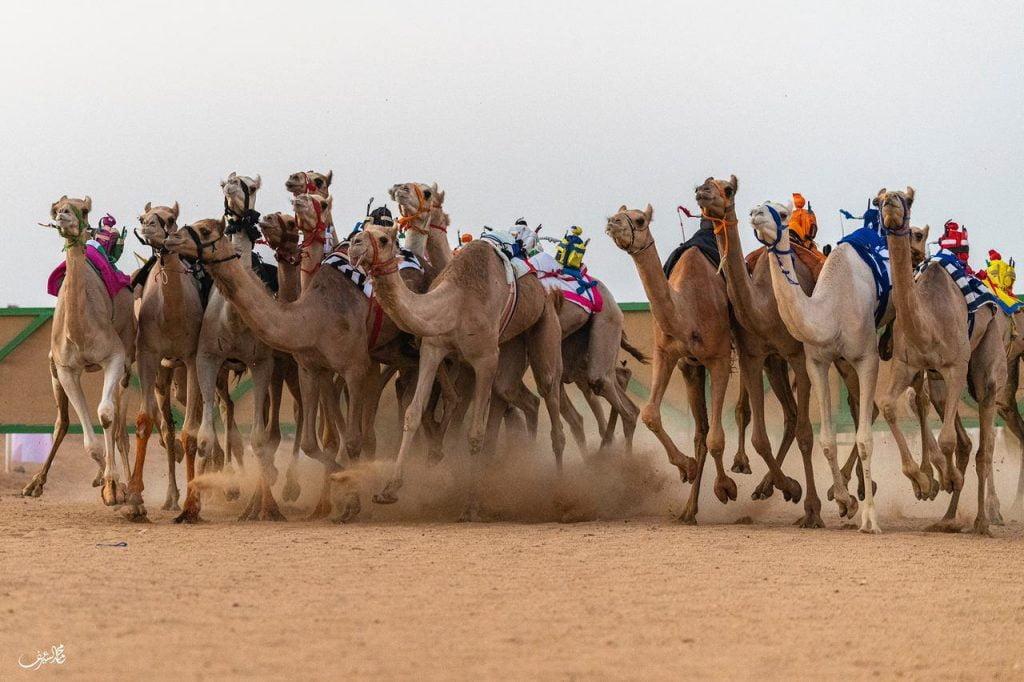 اختتام سباق كأس المفاريد للهجن في محافظة الوجه