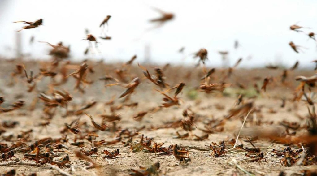 """""""البيئة"""" تحذر من خطورة وضع الجراد الصحراوي في منطقة القرن الأفريقي"""