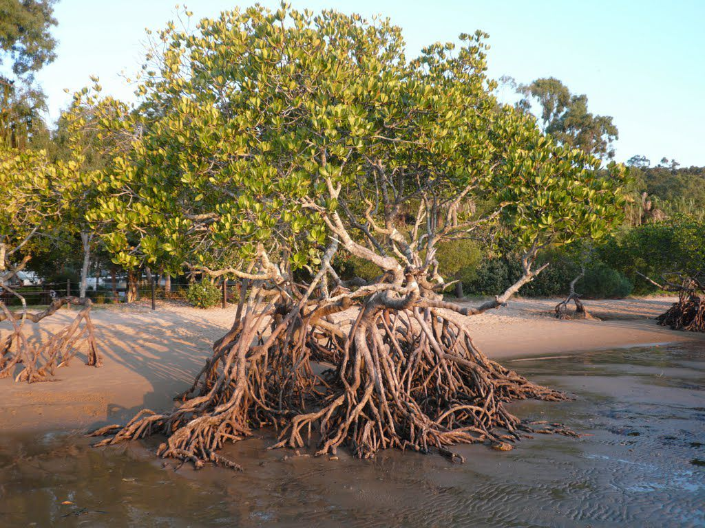 """سواحل المملكة تعزز تنوعها البيئي بزراعة 14 مليون شجرة شوري """"المانجروف"""" بنهاية العام الجاري"""
