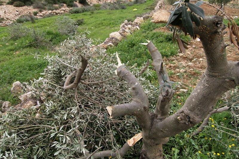 مستوطنون يهود يتلفون المئات من شتلات الزيتون في بلدة الخضر جنوب بيت لحم