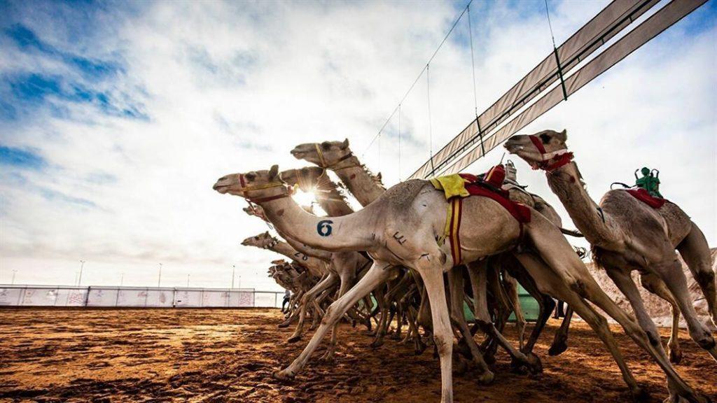 مهرجان الملك عبدالعزيز للإبل يستحدث مسابقتين جديدتين