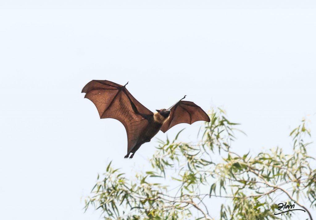 دراسة جديدة تكشف عن فيروسات مرتبطة بكورونا في خفافيش لاوس